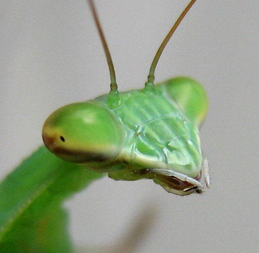 http://lunahelia.com/docs/mantis/mantis2.jpg